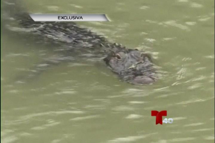 Encuentran caimán en aguas del río Bravo