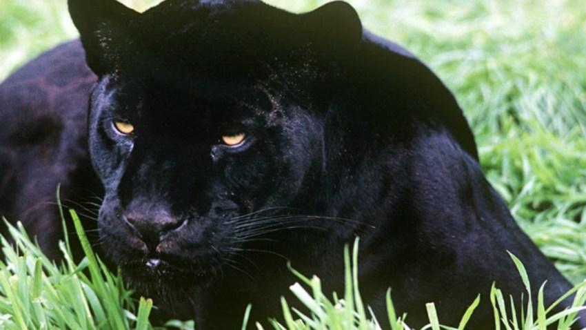 jaguar-negro-animales-extraordinarios-wwf