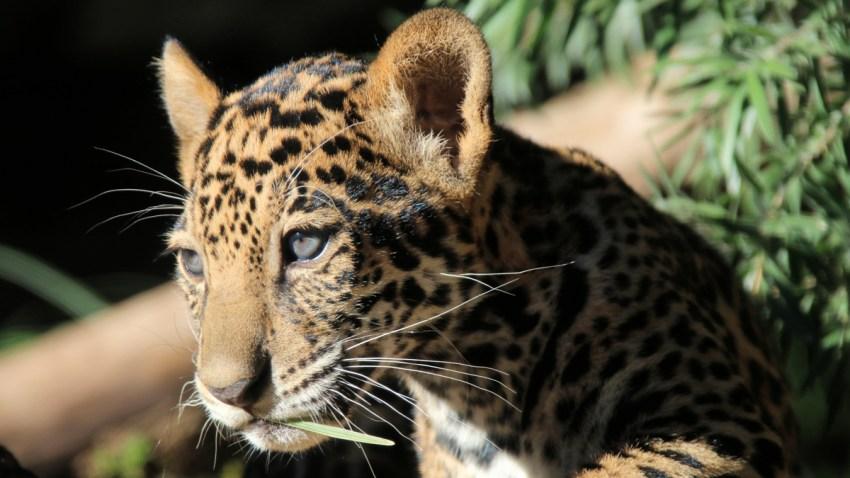 Leopardo del SA Zoo