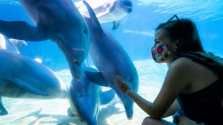 A visitor wearing a face mask looks at dolphins at SeaWorld San Diego.