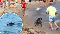 Video: jabalí aparece nadando en una playa y arremete contra bañistas