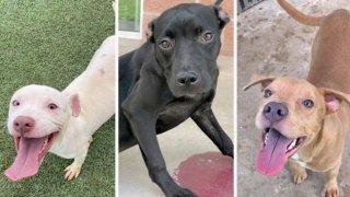 Cachorros en San Antonio Pets Alive!