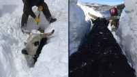 Esta familia de granjeros tuvo que pasar varias horas tratando de desenterrar a su ganado de varios pies de nieve.