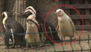 """El futuro del """"único"""" pingüino albino marcado por su color"""