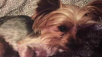 Ofrecen recompensa por mascota de terapia desaparecida