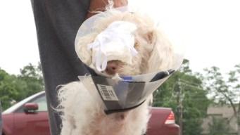 Ángel, el perrito sin cara que hace llorar a Houston
