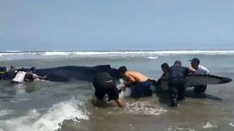 Dramático intento por salvar a una ballena encallada
