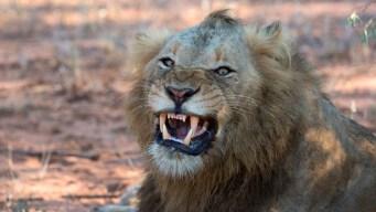 Elefante pisotea a presunto cazador y leones se lo comen
