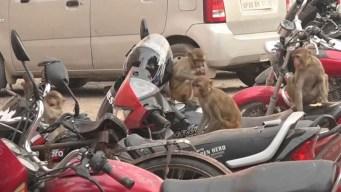 """Manada de monos """"ladrones"""" aterroriza a una ciudad de India"""