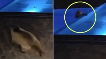 En video: oso se zambulle en la piscina de un comercio