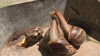Plaga de caracoles gigantes procedente de Africa invade Cuba