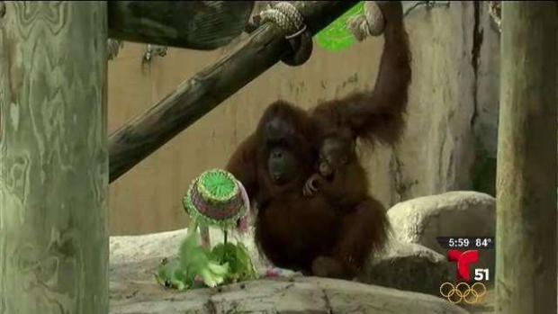 [TLMD - MIA] Orangutanes buscan huevos de Pascua