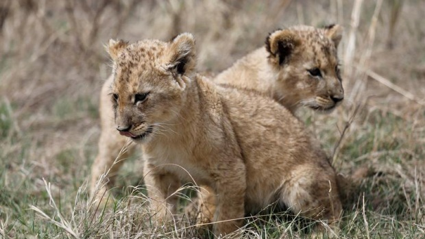 Nacen primeros leones concebidos por inseminación artificial