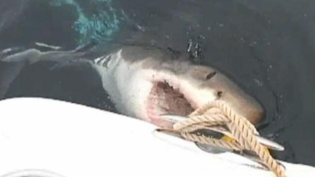 Video: Tiburones sacan los dientes en NY