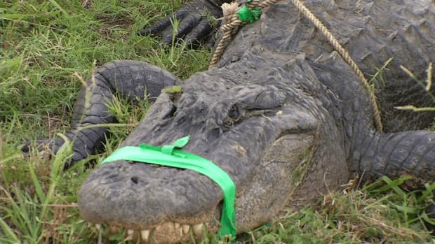 Capturan cocodrilo de diez pies en el rio Trinity