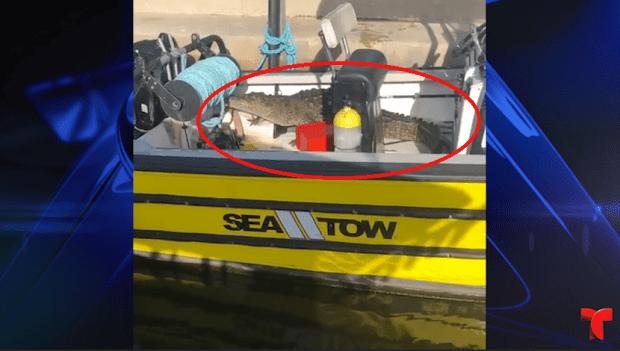 [TLMD - NATL] En un bote: caimán intruso toma decisión ante las cámaras