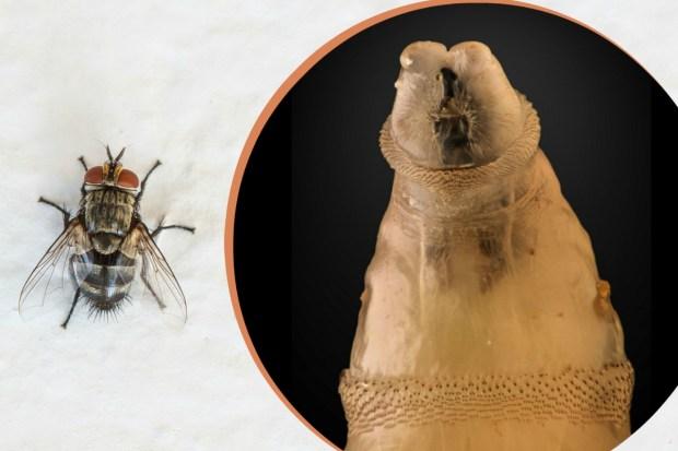 En carne viva: gusano letal ataca de nuevo, 30 años después