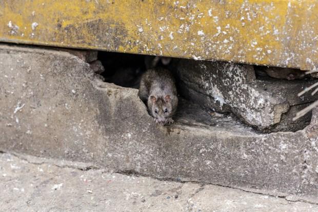Reporte Orkin: las 20 ciudades con más reportes sobre ratas en EEUU