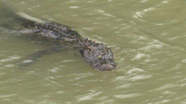 Caimán en aguas del río Bravo