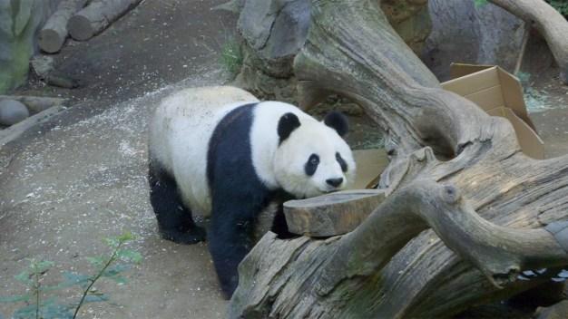 Madre e hijo: adorable dúo de pandas se retiran a la China