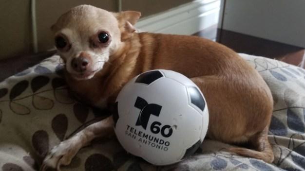 Estas son las mascotas de Telemundo 60 San Antonio