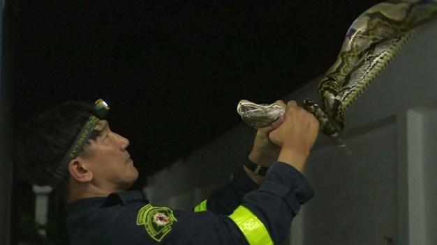 El bombero que no apaga incendios pero sí doma serpientes, y las cuida