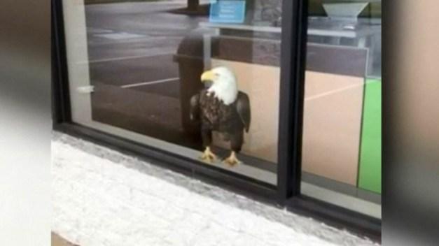 En cámara: una enorme águila se mete a un comercio