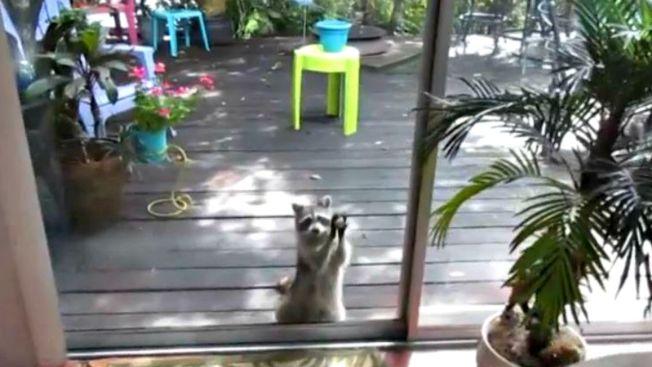 Video: mapache tocando la puerta se vuelve viral