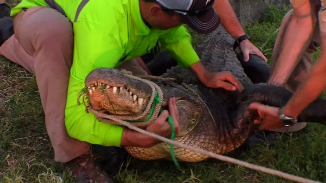 Capturan caimán de 3 metros en río de Texas