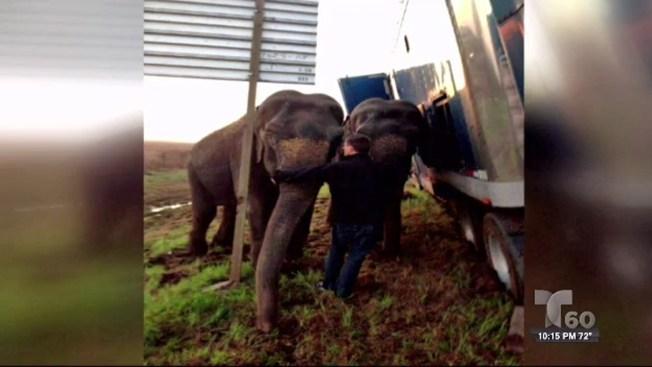 Elefantes evitan volcadura de tráiler
