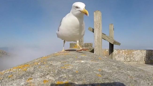 Video: Gaviota roba cámara GoPro y graba vuelo