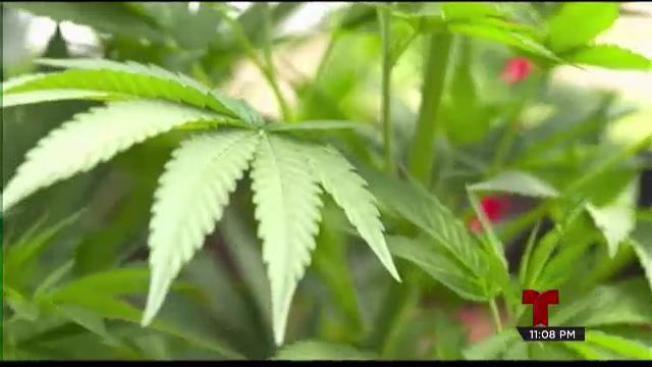 Reacciones diversas ante la aprobación del uso medicinal de marihuana