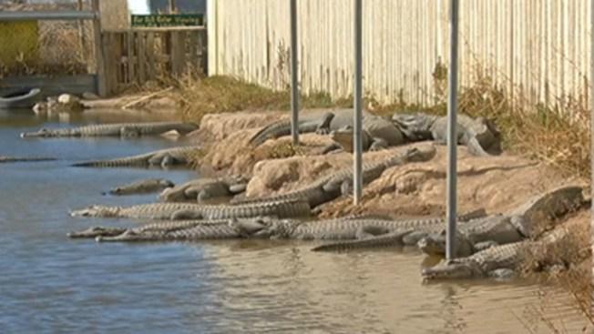 Hombre alimenta reptiles en un pantano