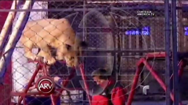 Graban ataque de león hacia una maestra