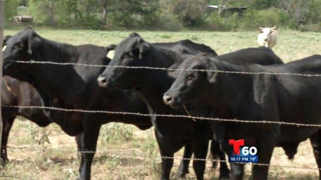 Reporte 60: Denuncian robo de vacas