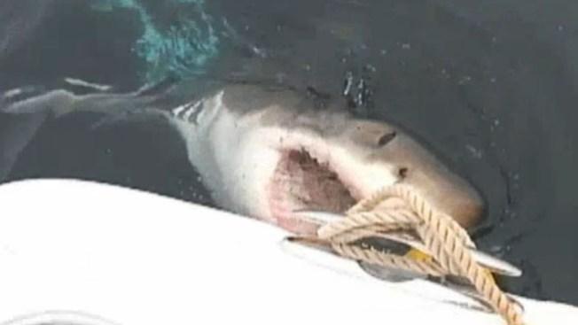 Tiburones sacan los dientes en NY