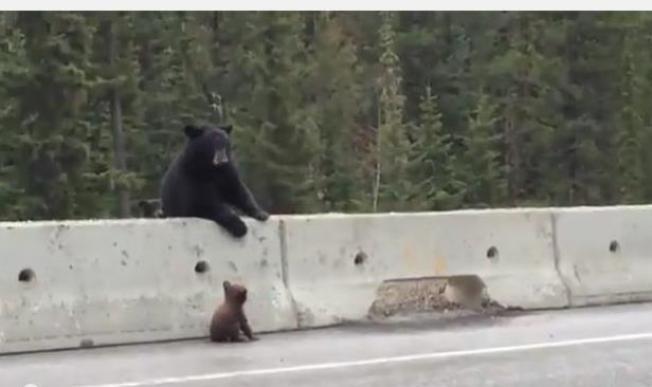 Video: Osa salva a su osito en autopista