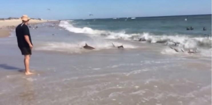 Tiburones se dan festín en plena orilla